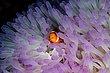 Anemonefish1.jpg