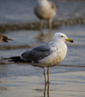 Black-backed Gull-.jpg