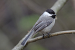 Blacked-capped Chickadee.jpg
