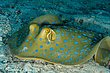Blue-Spotted Ray2.jpg