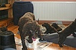 Meagan-puppies-2011-day-46a.jpg