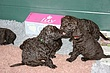 Megpups2009days33_34C.jpg