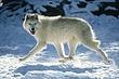 Artic Wolf.jpg