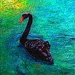 The Black Swan.jpg