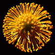 Protea Star Burst.jpg