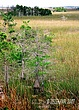 Cypress stand in Everglades copy.jpg