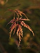 Grandover Japanese Maple leaf.jpg