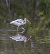 Ibis wading with reflection.jpg