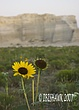 Kansas Sunflower with monument rock in background.jpg