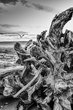 Drift wood B W.jpg