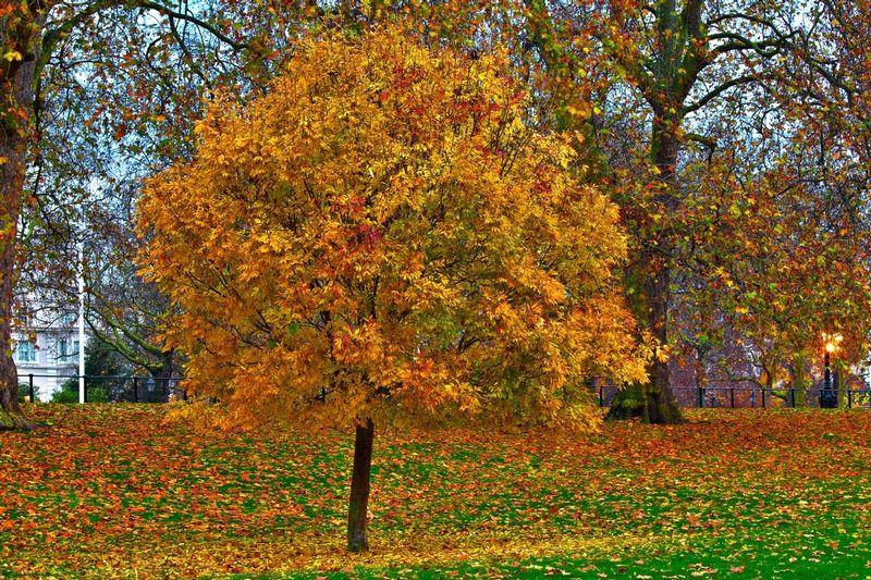 An Autumn (Fall) tree in St James Park London.jpg