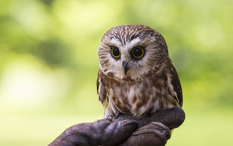 Sawhett Owl - native to New England - USA.jpg
