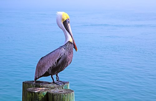 Florida Pelican on posts.jpg