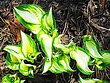 Dance-of-the-Hosta-at-Clover-Hill-Road-AM-revised.jpg