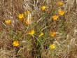 California poppies .1.jpg