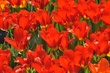 Wild red tulips detail.jpg