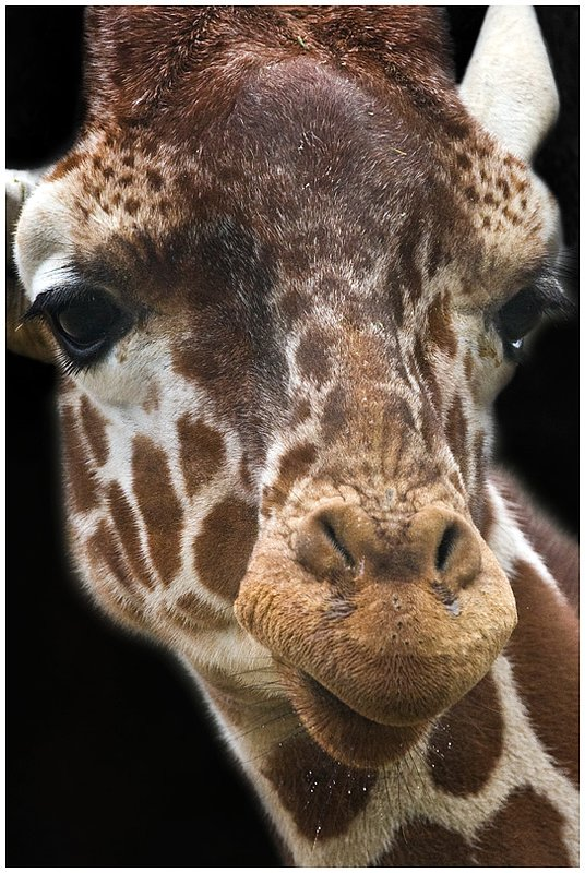 10NO.Zoo-Giraffe_3931.jpg