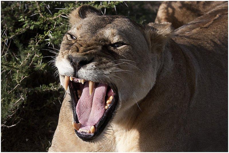 11Tanz.Seren.Lion_3395.jpg :: Serengeti, Tanzania