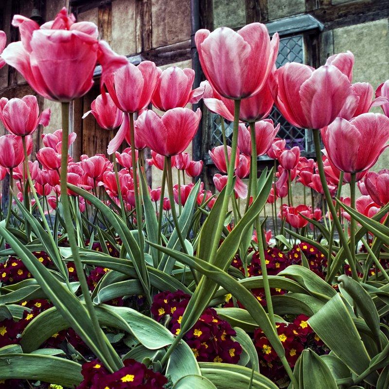 Cotswold Tulips.jpg :: Tiptoe through the tulips!