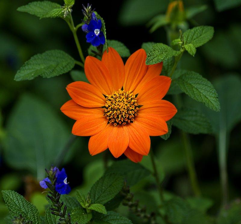 Garden Sunset.jpg :: Mexican Sunflower