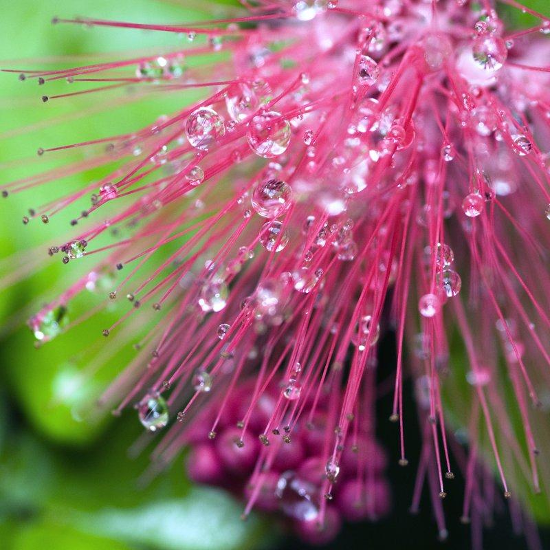 GlisteningDiamondsofPink.jpg :: Raindrops decorate a pompom plant