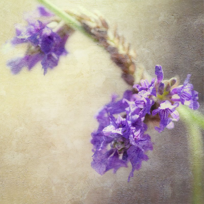 Painted Lavender.jpg :: ©2010 LKG Photography