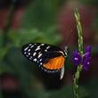 Butterfly on Porterweed.jpg