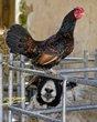 Chicken on Sheep Head.jpg