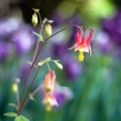 Columbine Flower.jpg