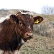 Cow Face 1.jpg