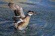 Female Ruddy Duck.jpg