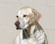 Golden Labrador Portrait.jpg