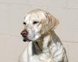 Golden Labrador Portrait.jpg
