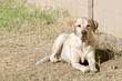 Golden Labrador in Yard.jpg