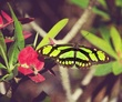 Malachite Butterfly.jpg
