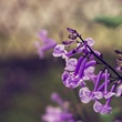 Mona Lavender.jpg