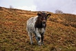 Standing Cow.jpg
