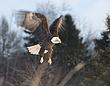 0014 -Focused -Bald Eagle -Port Williams NS.jpg