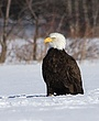 0088 -Bald Eagles -Port Williams NS.jpg