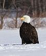 0088 -Bald Eagles -Port Williams NS.jpg