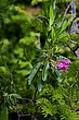 2361 -Sheep Laurel -W NFLD.jpg