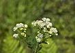 2366 -Flora of W NFLD.jpg