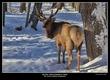 6606 -Shuby Pk -Elk.jpg