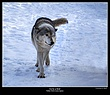6785 -Shuby Pk -Timber Wolves.jpg