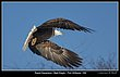 _MG_0018 -Bald Eagles -Port Williams.jpg