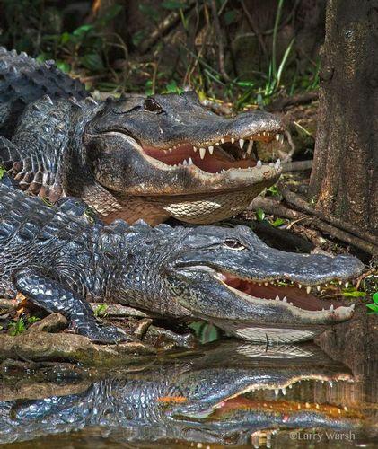 2 gators.jpg