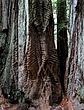 Bark Swirls on tree.jpg