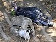 Birds-Condor_ND32105e.jpg