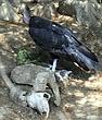 Birds-Condor_ND32106e.jpg