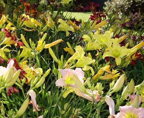 Lillies 20X20.jpg